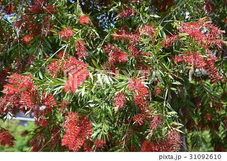 ブラシノキ、赤い花のような雄しべ、長い花糸、樹木、5~6月 31092610
