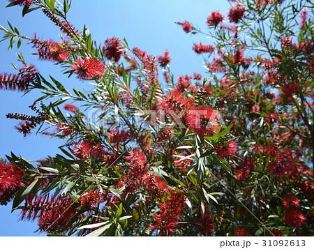 ブラシノキ、赤い花のような雄しべ、長い花糸、樹木、5~6月 31092613