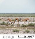 野生動物 スプリングボック アフリカの写真 31101997
