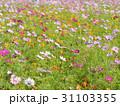 一面に咲き乱れるコスモス 31103355
