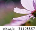 逆光に輝くコスモスの花弁をアップで 31103357