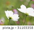 二輪の白いコスモス 31103358