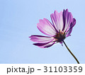 逆光に輝く一輪のコスモス 31103359