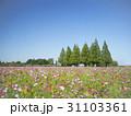三角ツリーと一面に咲くコスモス 31103361