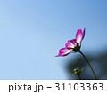 紫のコスモスをサイドから青空バックで 31103363