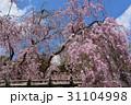 上賀茂神社 桜風景 31104998