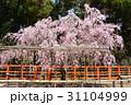 上賀茂神社 桜風景 31104999