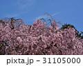 上賀茂神社 桜風景 31105000