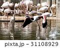 動物園 フラミンゴ 鳥の写真 31108929