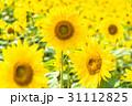 ひまわり畑 31112825