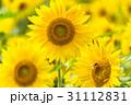 ひまわり畑 31112831