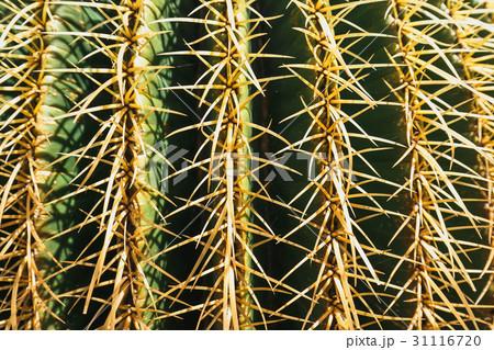 close up of Echinocactus grusonii cactus 31116720