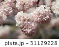 Japanese cherry blossom in spring 31129228