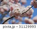 さくら サクラ 桜の写真 31129993
