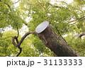 三島神社の薫蓋樟(大阪府門真市) 31133333