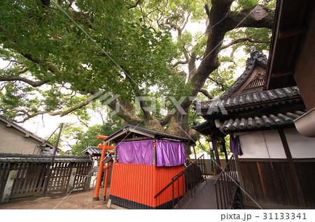 三島神社の薫蓋樟(大阪府門真市) 31133341