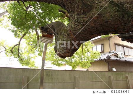 三島神社の薫蓋樟(大阪府門真市) 31133342