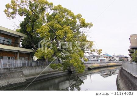 稗島のくす(大阪府門真市) 31134002