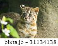 ツシマヤマネコ 31134138