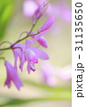 紫蘭の花 31135650