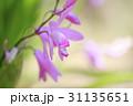 紫蘭の花 31135651