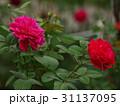 赤い秋薔薇の咲くガーデン 31137095