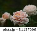 秋薔薇の咲くローズガーデン 31137096