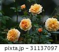 秋薔薇の咲くローズガーデン 31137097