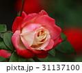 秋薔薇の咲くバラ園 31137100