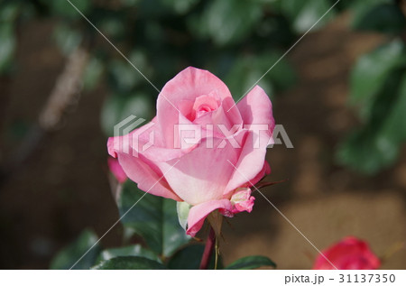 バラの花(品種:フラワーガール) 31137350