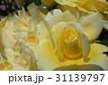 クリーム色のバラと水滴 31139797