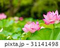 蓮の花 31141498
