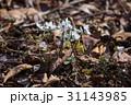 節分草 セツブンソウ 花の写真 31143985