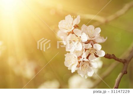 Apricot tree flower 31147229