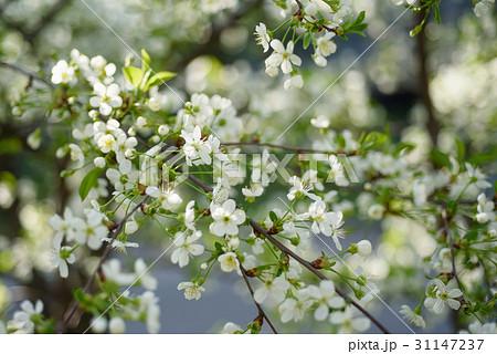 Cherry spring flowers 31147237