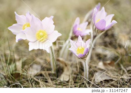 Pasque-flower in nature 31147247