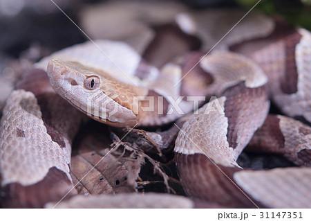 アメリカマムシ カパーヘッド 蛇 毒 毒ヘビ 31147351