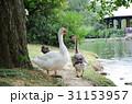 アヒル あひる 鴨の写真 31153957