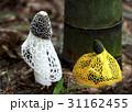 きのこ キノコ 茸の写真 31162455