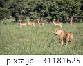Lion standing in front of Impalas. 31181625