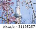 Cherry blossom 31195257