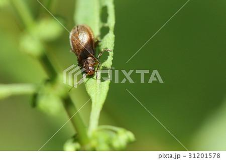 生き物 昆虫 イチゴハムシ、イチゴにつく害虫という名前のようです。ギシギシでよく見かけます 31201578