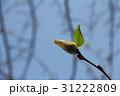 冬芽 31222809