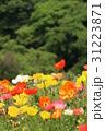 あわじ花さじき アイスランドポピー 31223871