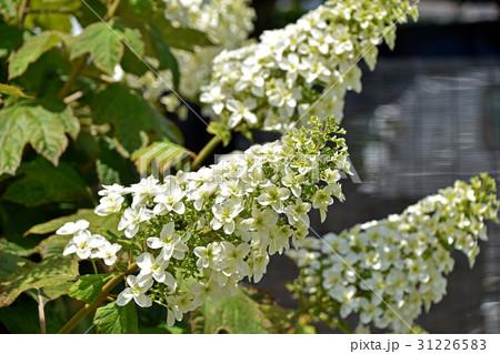 カシワバアジサイ(柏葉紫陽花) 31226583