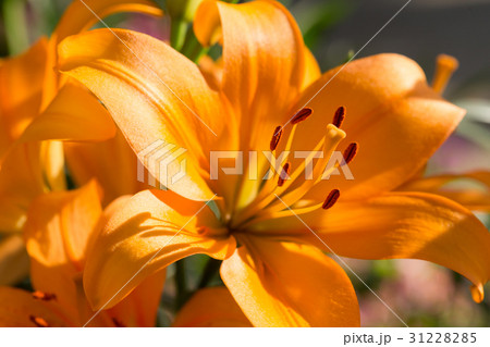 beautiful lily flowers blooming in floral garden 31228285