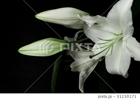 White lily on a black background 31230171