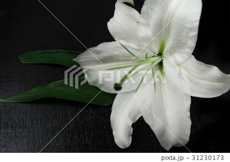 White lily on a black background 31230173