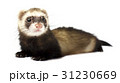Ferret isolated on a white background 31230669
