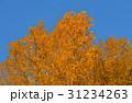 樹木 樹 ツリーの写真 31234263